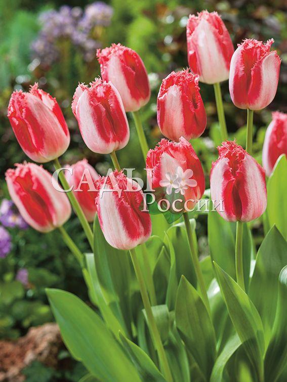 Тюльпаны Бахромчатые