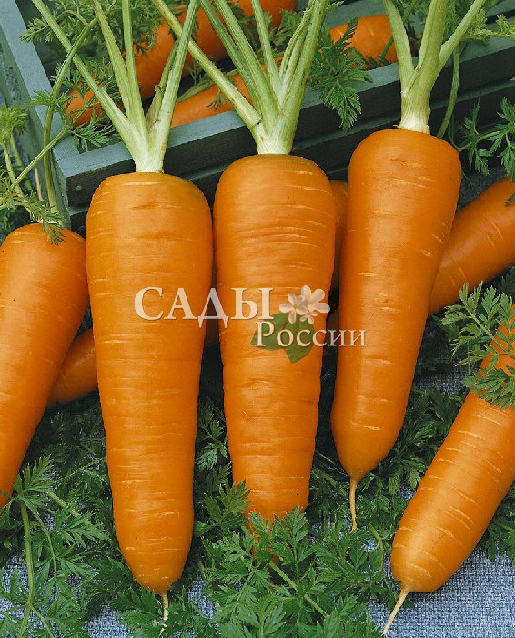 Морковь Маргарита F1